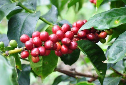 specii de cafea
